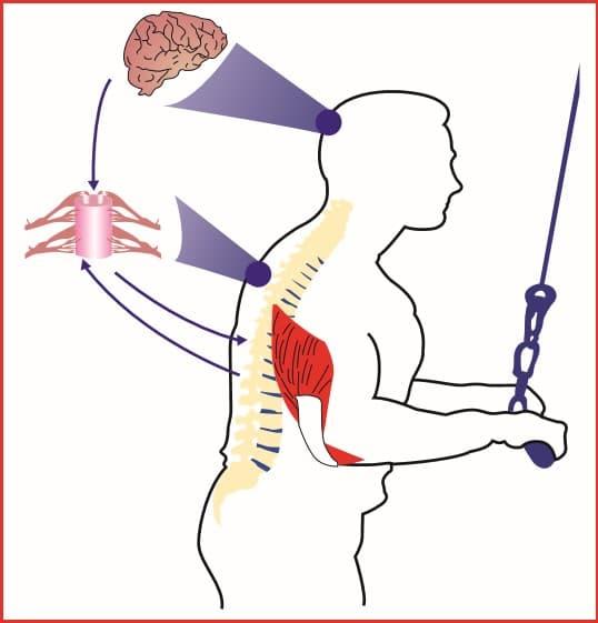 Figura 1.1 Benefícios do treinamento de força - Adaptações neurais